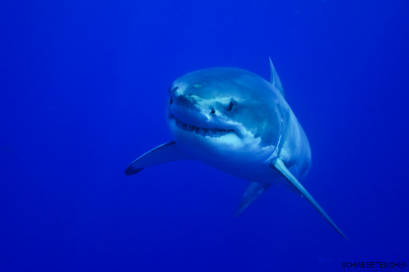 White Shark / Guadalupe